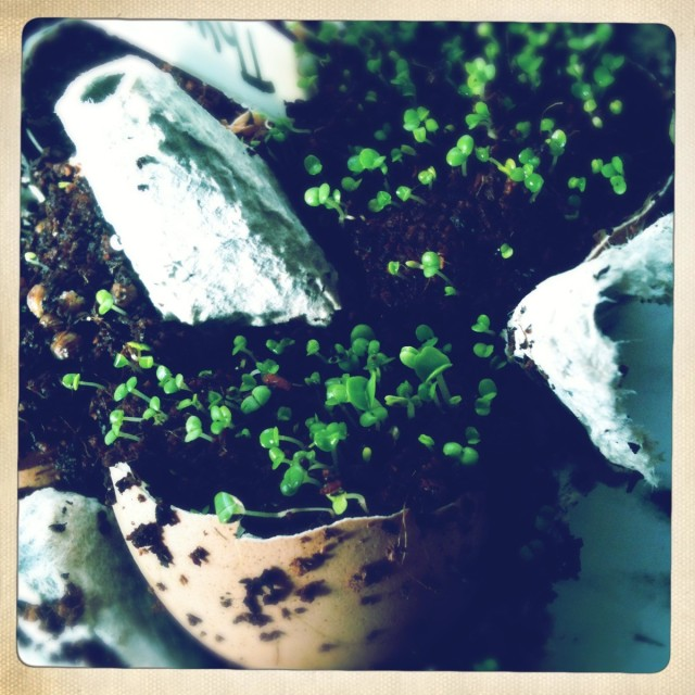 Seedlings sprouting in egg shells