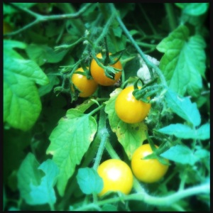 yell cherry tomatoes